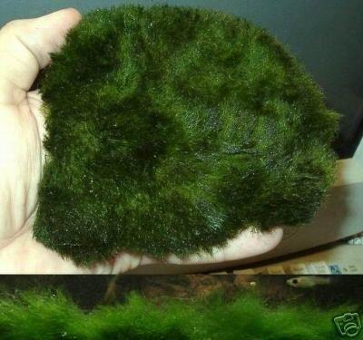 Florashop2000 wasserpflanzen und exotische samen for Teichpflanzen gegen algen