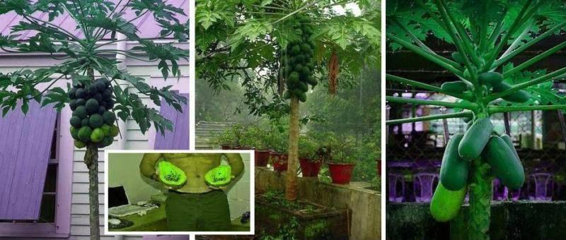 tropische papaya zimmerpflanze bis 2 meter hoch. Black Bedroom Furniture Sets. Home Design Ideas