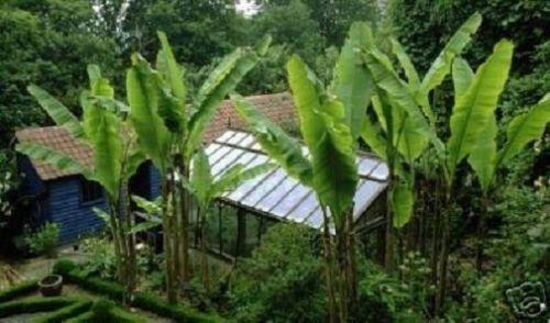 winterharte schnellw chsige musa basjo banane exotische beetpflanzen beetstauden florashop2000. Black Bedroom Furniture Sets. Home Design Ideas