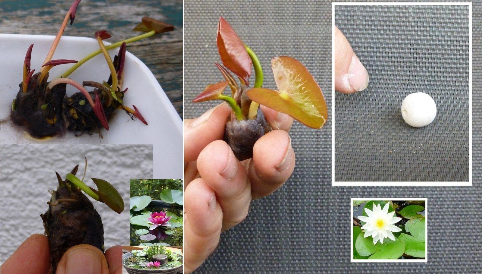 Teichpflanzen - Florashop2000 Gartenteich Mit Seerosen Sorten