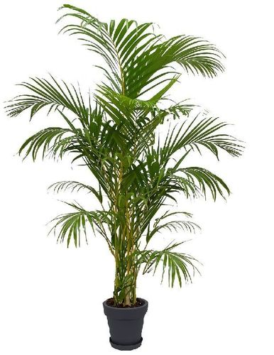 ikea pflanzen palme dracaena deremensis pflanze ikea dracaena marginata pflanze ikea knuddel. Black Bedroom Furniture Sets. Home Design Ideas