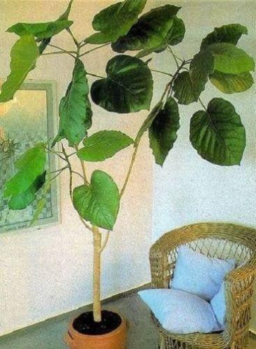 ficus auriculata stecklinge zimmerpalme zimmerbaum b ropflanze gro immergr n florashop2000. Black Bedroom Furniture Sets. Home Design Ideas