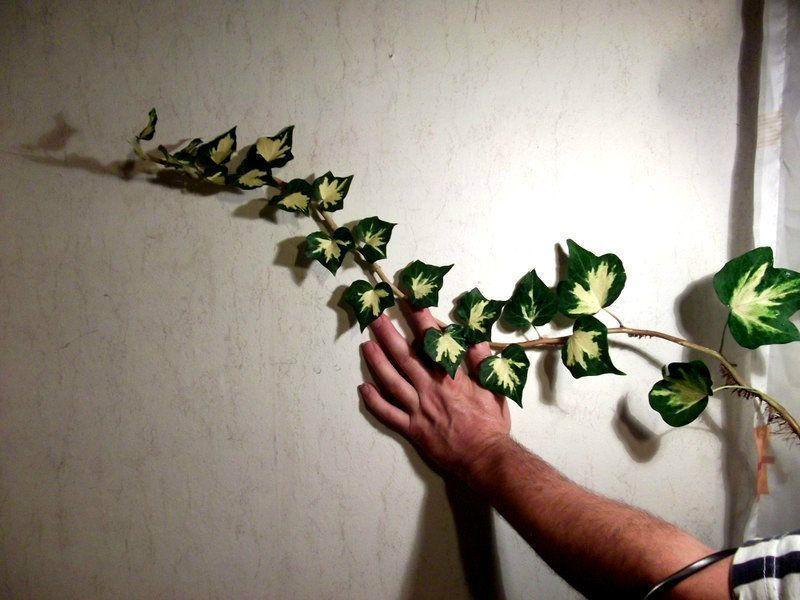 efeu goldherz heckenpflanzen bl hend winterhart immergr n. Black Bedroom Furniture Sets. Home Design Ideas
